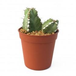 Euphorbia makallensis