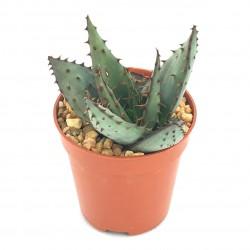 Aloe broomii var. tarkaensis