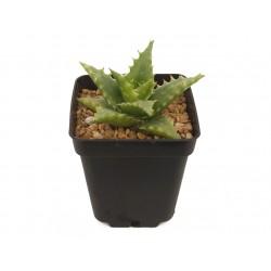 Aloe 'Nuda'