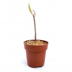 Euphorbia invenusta var....