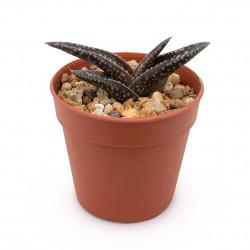 Aloe irafensis