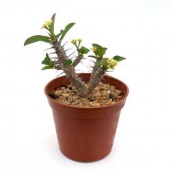 Euphorbia roseana