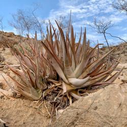 Aloe perryi - Bitgobihir