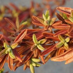 Plectranthus lanceolatus